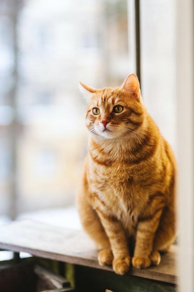 un chat en bonne santé et bien soigné