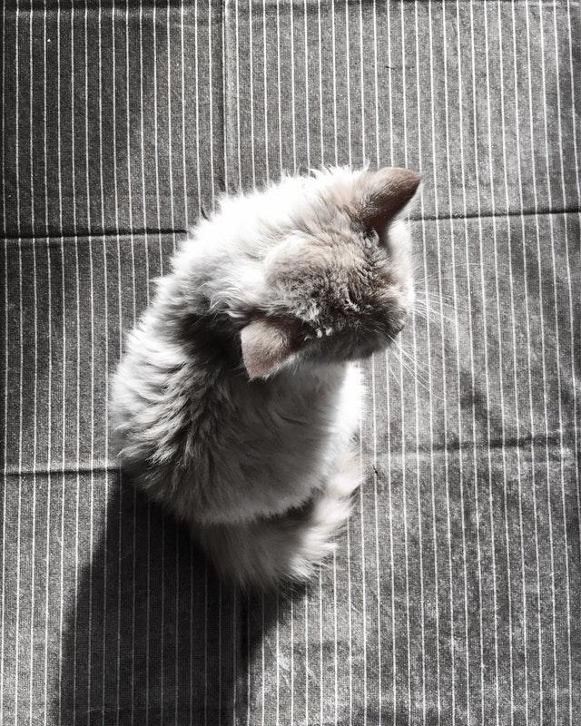 jeune chaton persan adopté