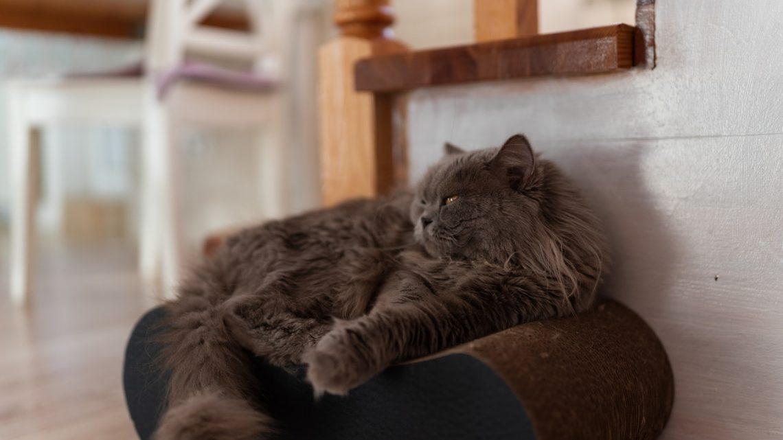 Chat Persan : un compagnon joyeux